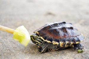 Las 9 mejores comidas para tortugas